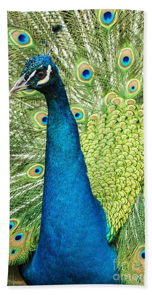 Peacock Beach Towel featuring the photograph Male Indian Peacock by Darleen Stry