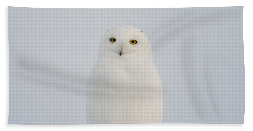 Snowy Owl Beach Towel featuring the photograph Male Snowy Owl by Shannon Carson