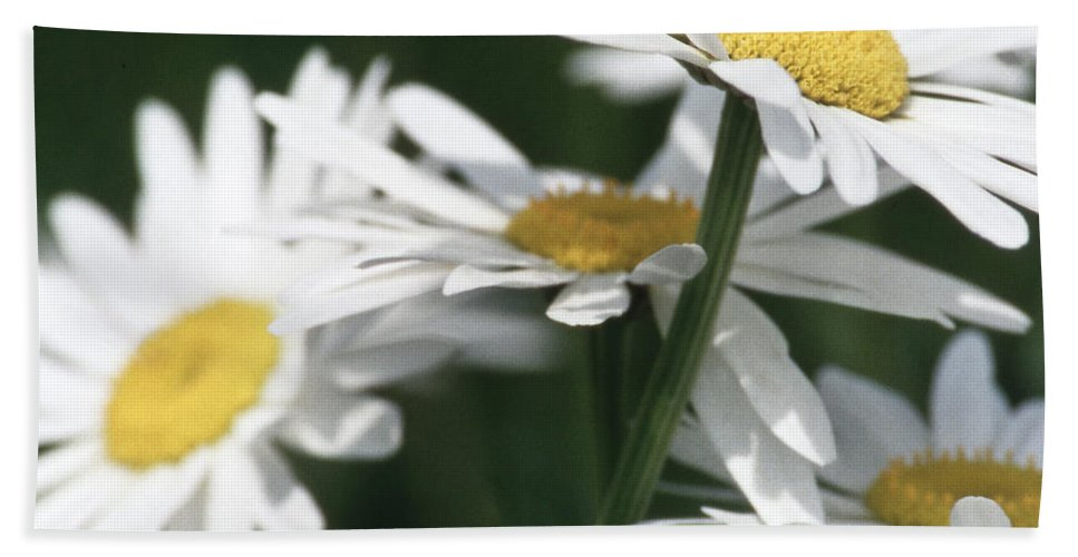 Heiko Beach Towel featuring the photograph Marguerite Blossom by Heiko Koehrer-Wagner
