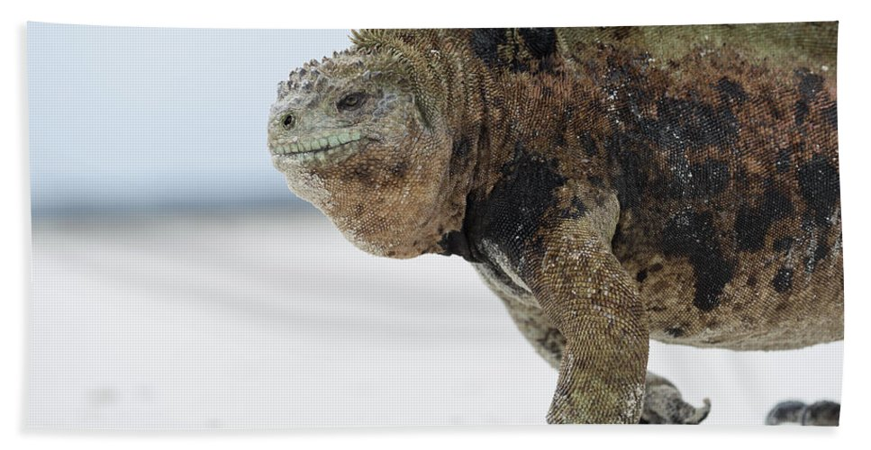 Tui De Roy Beach Towel featuring the photograph Marine Iguana Male Turtle Bay Santa by Tui De Roy