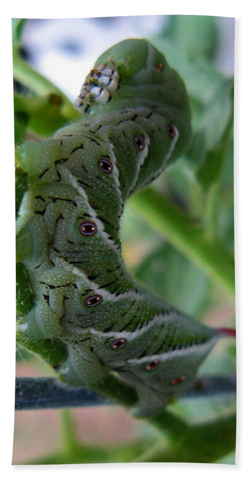 Tomato Bug Beach Towel featuring the photograph 'mater Bug by Dan McCafferty