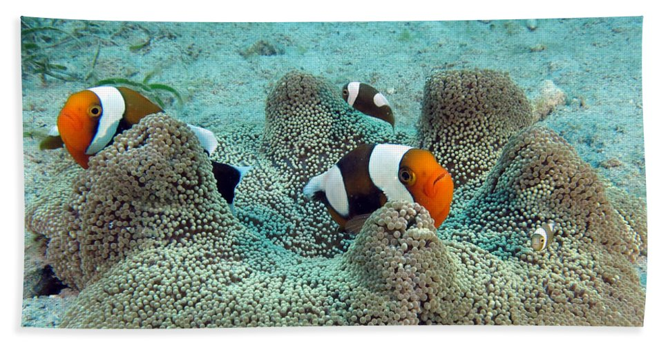 Clown Fish Beach Towel featuring the photograph Meet The Nemo Family by Paul Ranky
