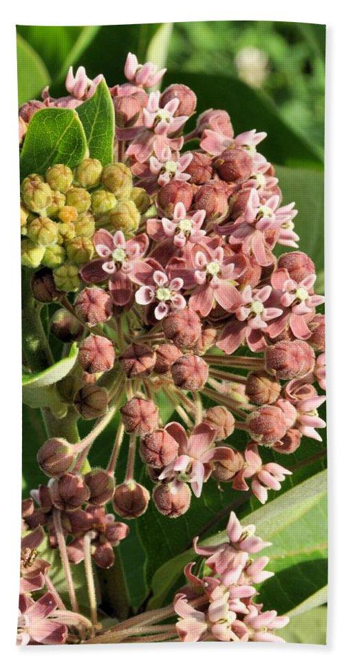Milkweed Beach Towel featuring the photograph Milkweed Flowers In Bud by Valerie Kirkwood