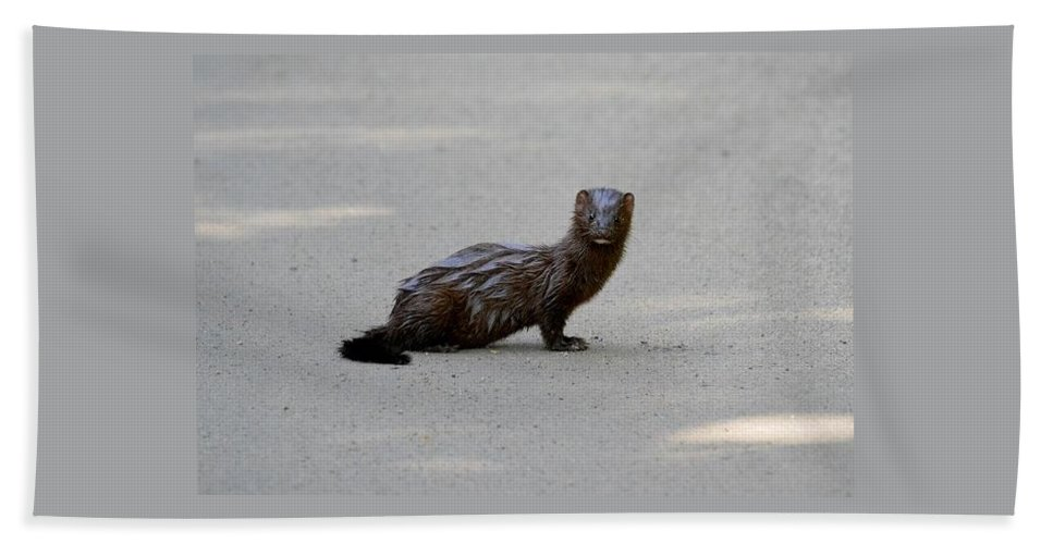 Wild Beach Towel featuring the photograph Mink by Thomas Phillips