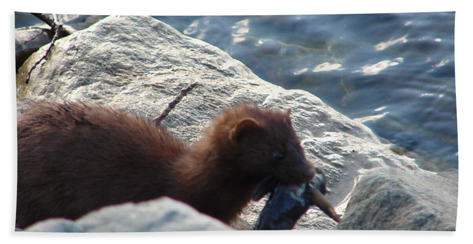 American Mink Beach Towel featuring the photograph Mink with a Round Goby by Randy J Heath