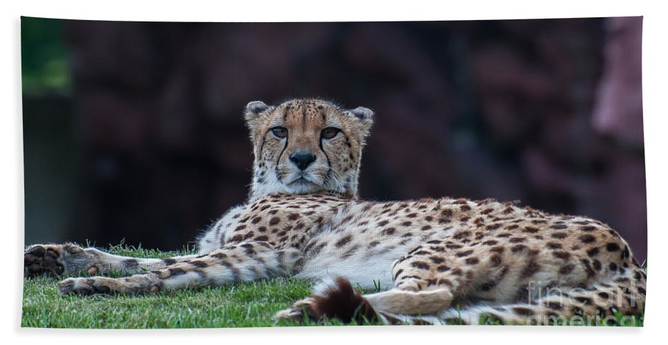 Cheetah Beach Towel featuring the photograph Mischievous Kitty by Bianca Nadeau
