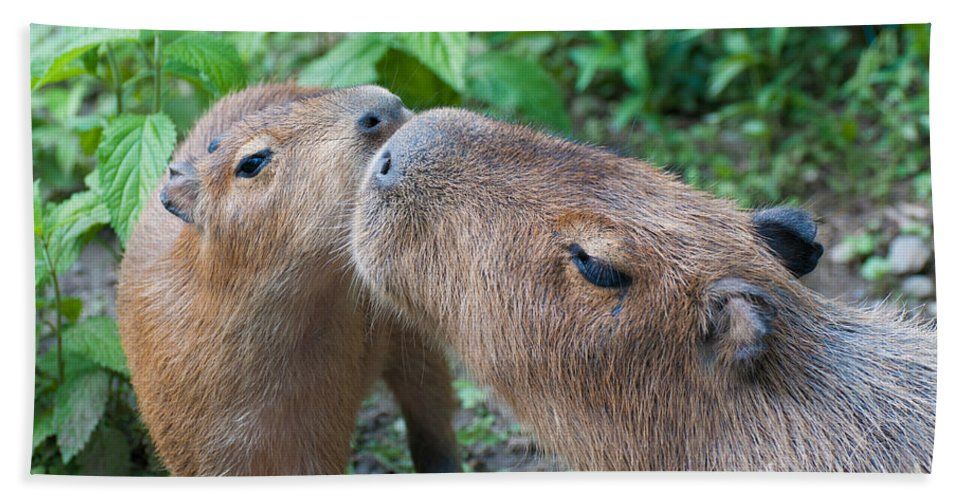 Capybara Beach Towel featuring the photograph Mommy Kisses by Bianca Nadeau