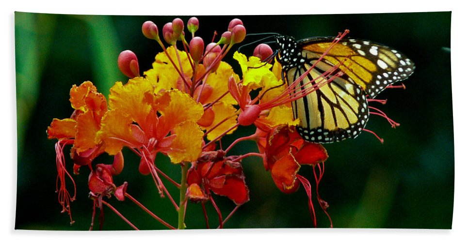 Butterfly Beach Towel featuring the photograph Monarch On Pride Of Barbados by Allen Sheffield