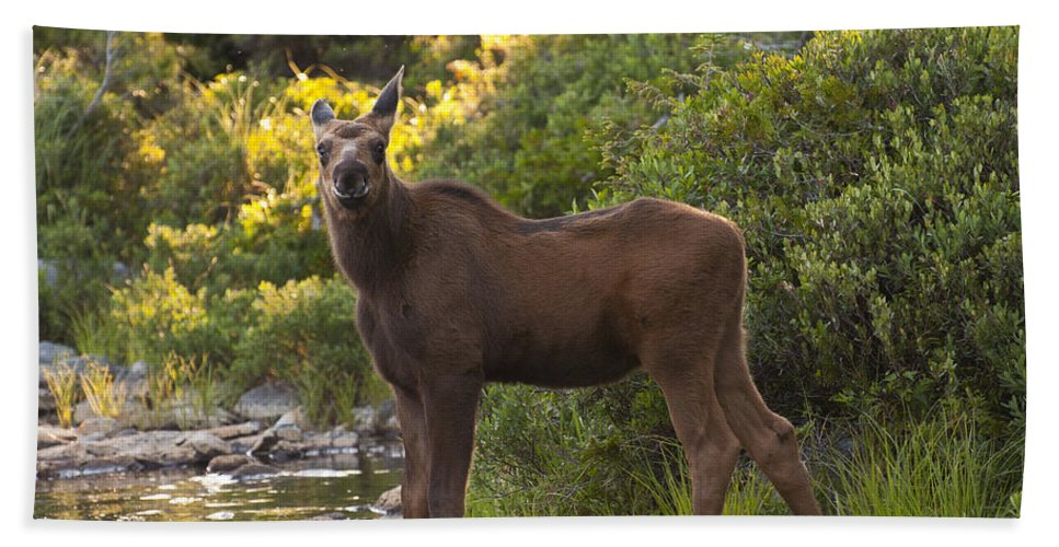 Moose Beach Towel featuring the photograph Moose Baby Sniffing Morning Air by Glenn Gordon
