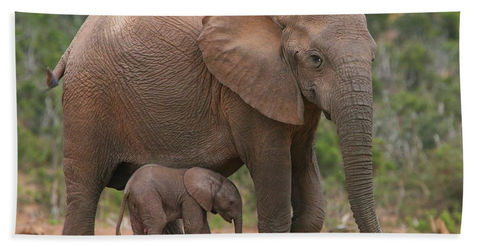 Elephant Beach Towel featuring the photograph Mother And Calf by Bruce J Robinson
