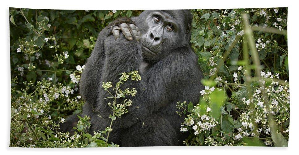Mountain Gorilla Beach Towel featuring the photograph Mountain Gorilla Praying by Juergen Ritterbach