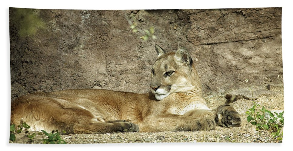 Arizona Beach Towel featuring the photograph Mountain Lion by Phill Doherty