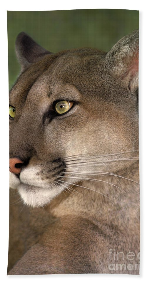 Mountain Lion Beach Towel featuring the photograph Mountain Lion Portrait Wildlife Rescue by Dave Welling
