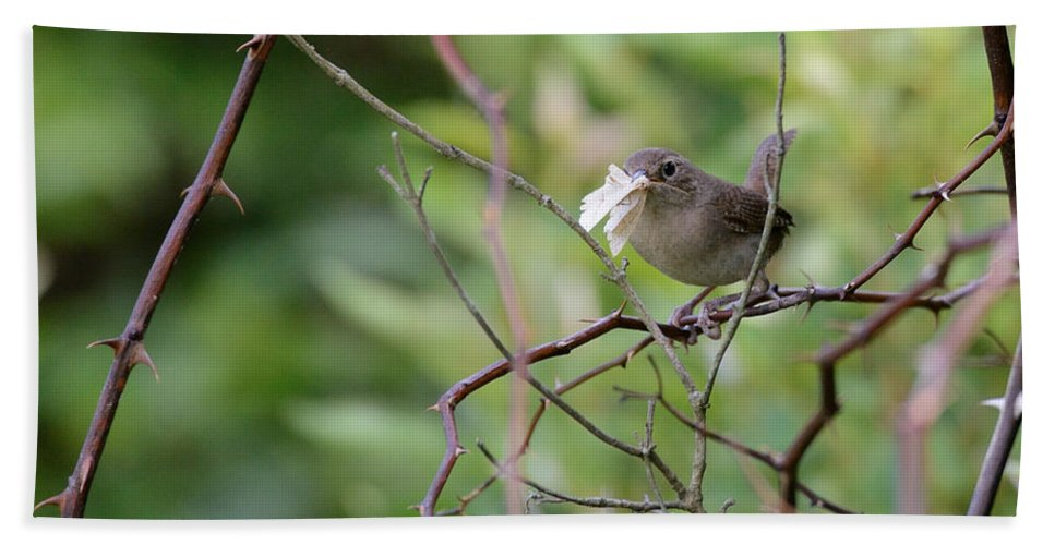 House Wren Beach Towel featuring the photograph Mouthfull Of Moth by Ian Ashbaugh