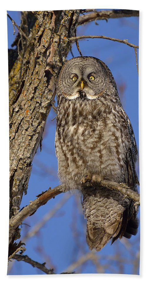 Great Grey Owl Beach Towel featuring the photograph Mr. Gray by Joshua McCullough