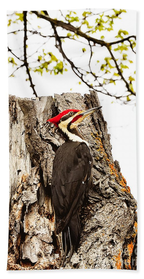 Birds Beach Towel featuring the photograph Mr.pileated Poses by Cheryl Baxter