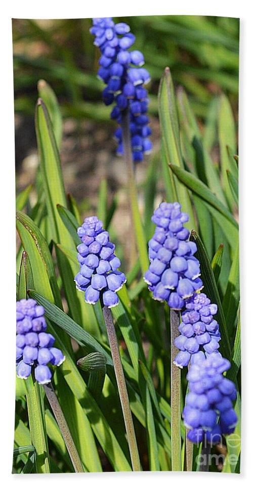 Flowering Beach Towel featuring the photograph Muscari Armeniacum by Felicia Tica