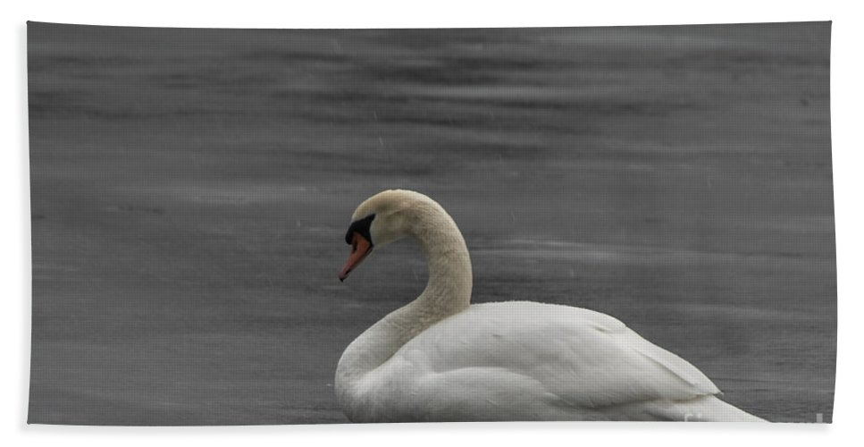 Swan Beach Towel featuring the photograph Mute Swan On Ice by Ronald Grogan