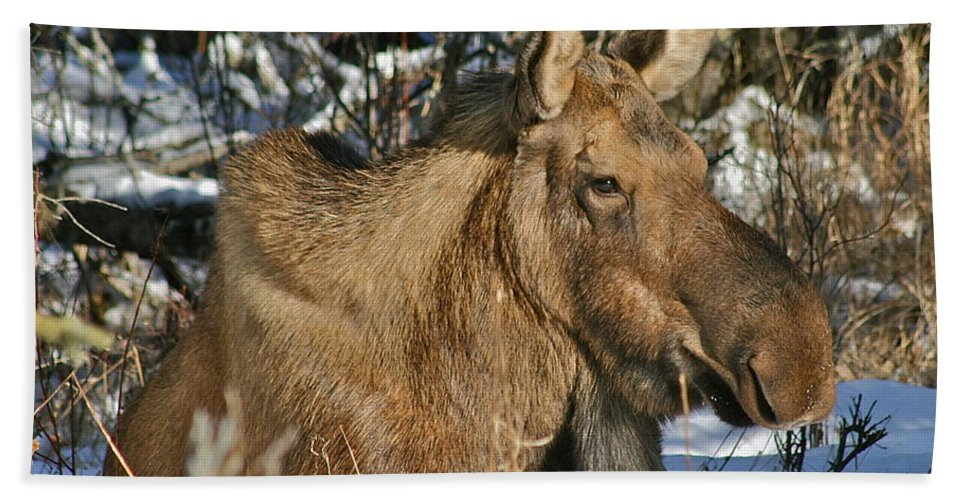Moose Beach Towel featuring the photograph Nap Time by Rick Monyahan