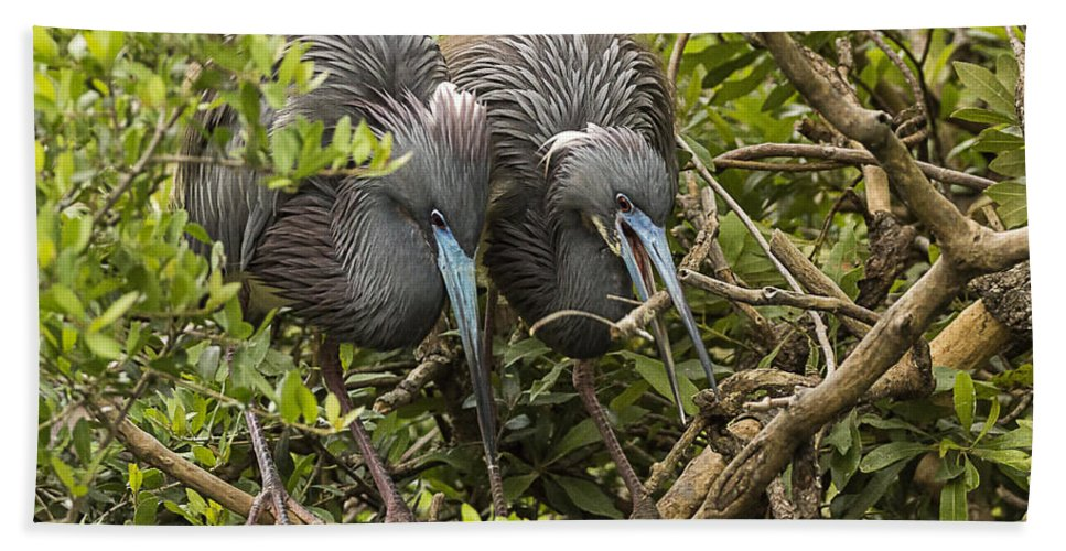 Little Blue Herons Beach Towel featuring the photograph Nest Building by Priscilla Burgers