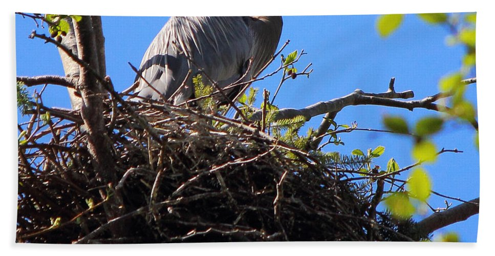 Great Blue Heron Beach Towel featuring the photograph Nesting Great Blue Heron by Randy Hall