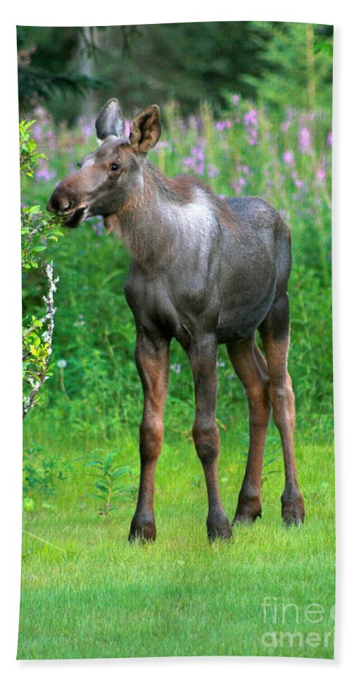 Moose Beach Towel featuring the photograph Nibbler by Rick Monyahan