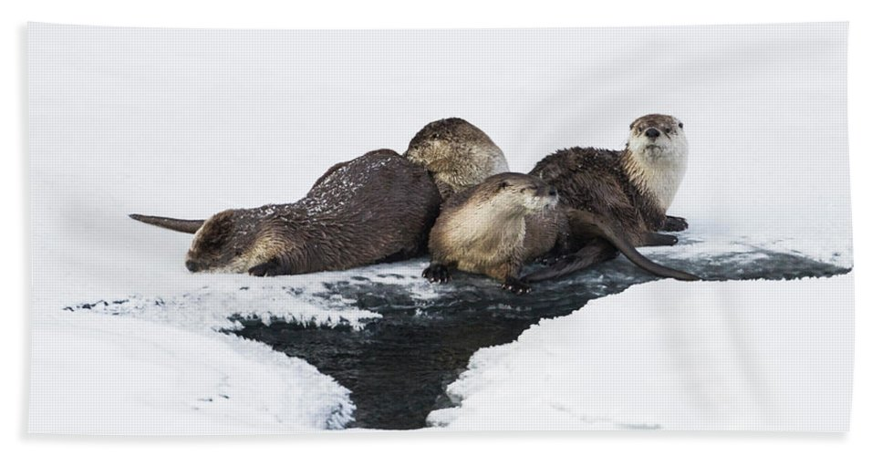 Animal Themes Beach Towel featuring the photograph North American River Otter Lontra by Josh Miller