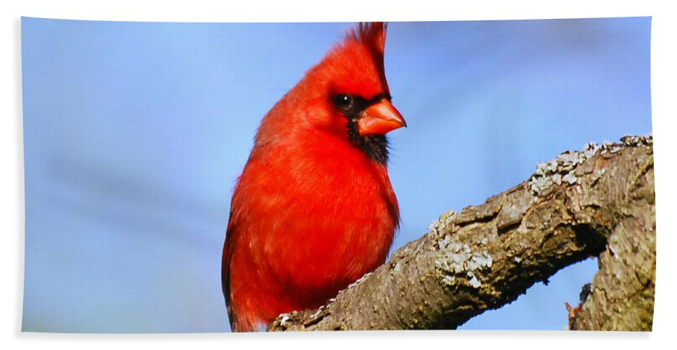 Cardinal Beach Towel featuring the photograph Northern Cardinal by Christina Rollo
