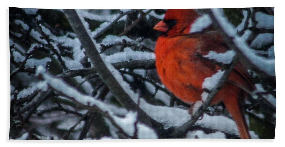 Snow Beach Towel featuring the photograph Northern Cardinal In Winter by Ronald Grogan