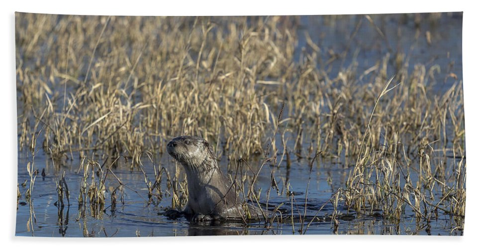 Animal Beach Towel featuring the photograph Northern River Otter In Wisconsin by Linda Arndt