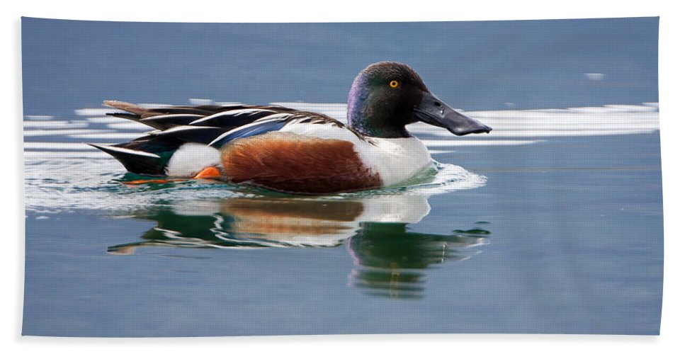 Duck Beach Towel featuring the photograph Northern Shoveler by Jack Bell