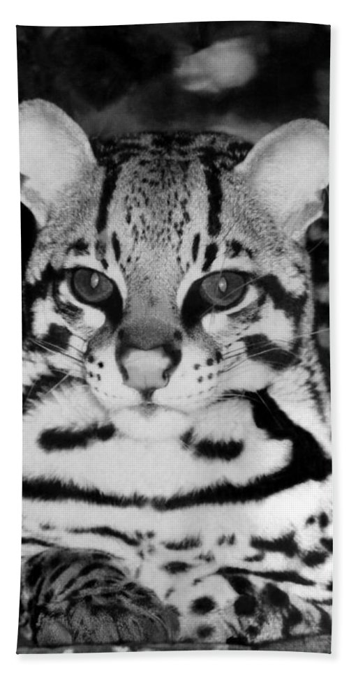 Ocelot In Repose Beach Towel featuring the photograph Ocelot In Repose by Ellen Henneke