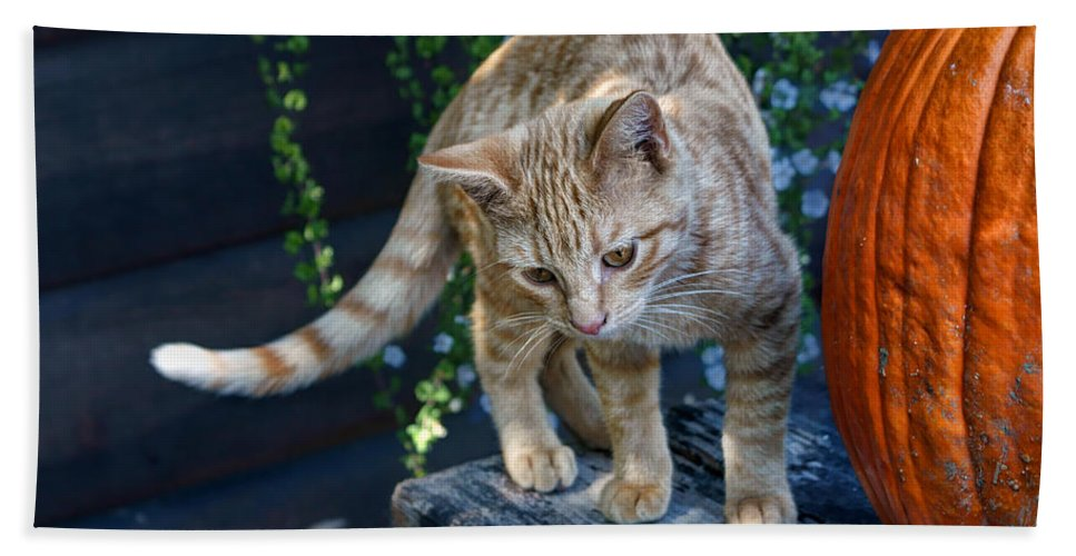 Kitten Beach Towel featuring the photograph October Kitten #2 by Nikolyn McDonald