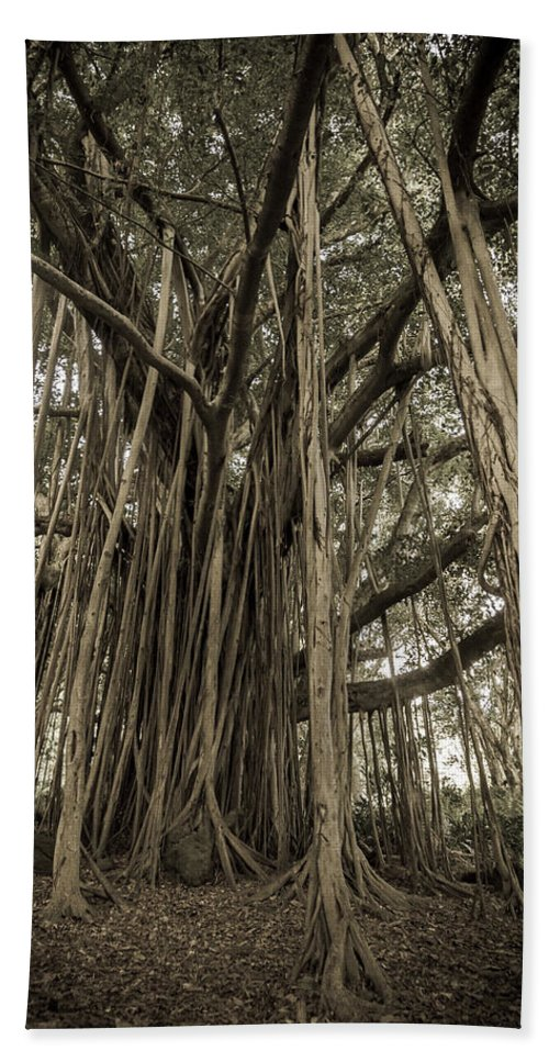 3scape Beach Towel featuring the photograph Old Banyan Tree by Adam Romanowicz