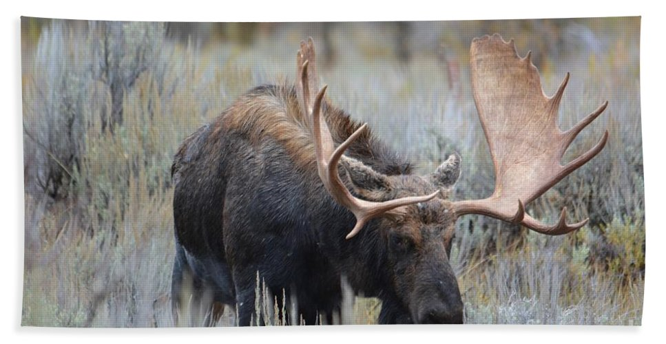 Bull Moose Beach Towel featuring the photograph On Display by Deanna Cagle