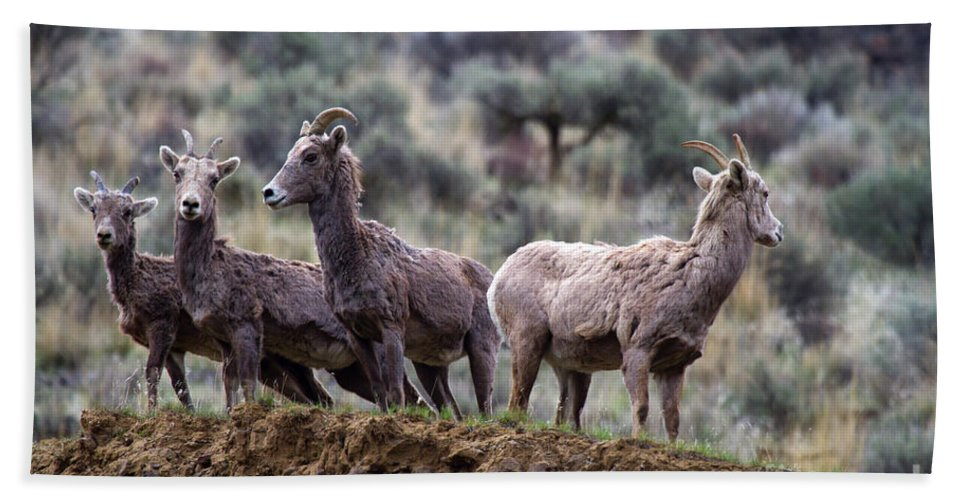 Bighorn Beach Towel featuring the photograph On The Ledge by Mike Dawson