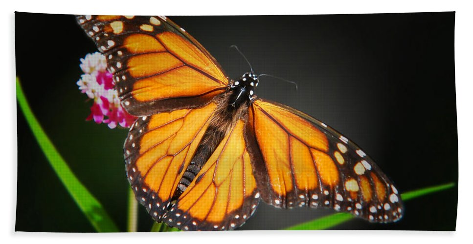 Monarch Beach Towel featuring the photograph Open Wings Monarch Butterfly by Christina Rollo