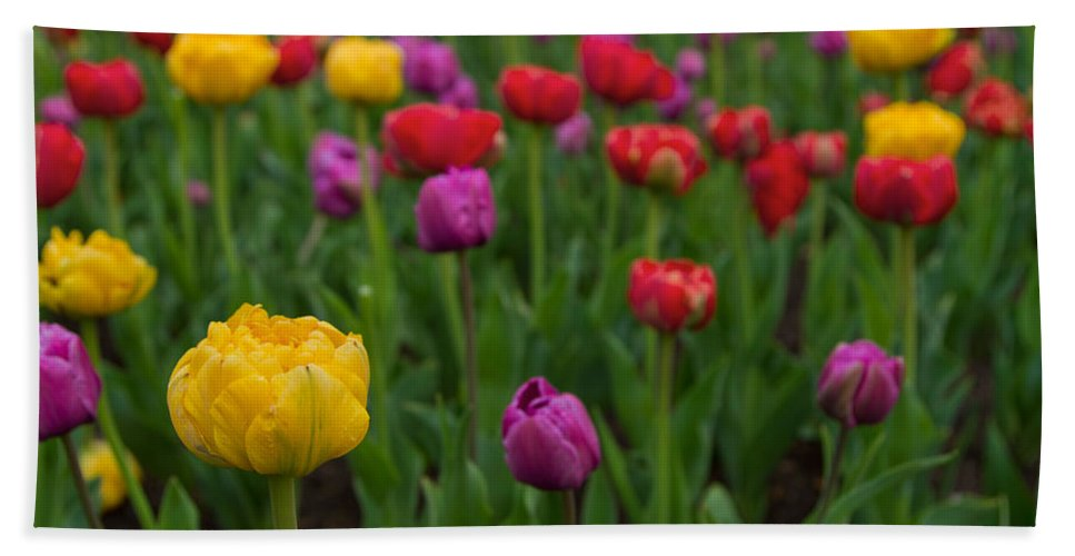 Colorful Tulip Beach Towel featuring the photograph Opening Day by Lindley Johnson