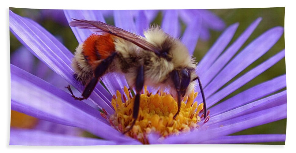 Bees Beach Towel featuring the photograph Orange-banded Bee by Rona Black