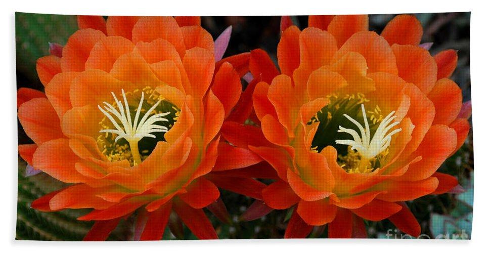 Orange Beach Towel featuring the photograph Orange Cactus Flowers by Nancy Mueller