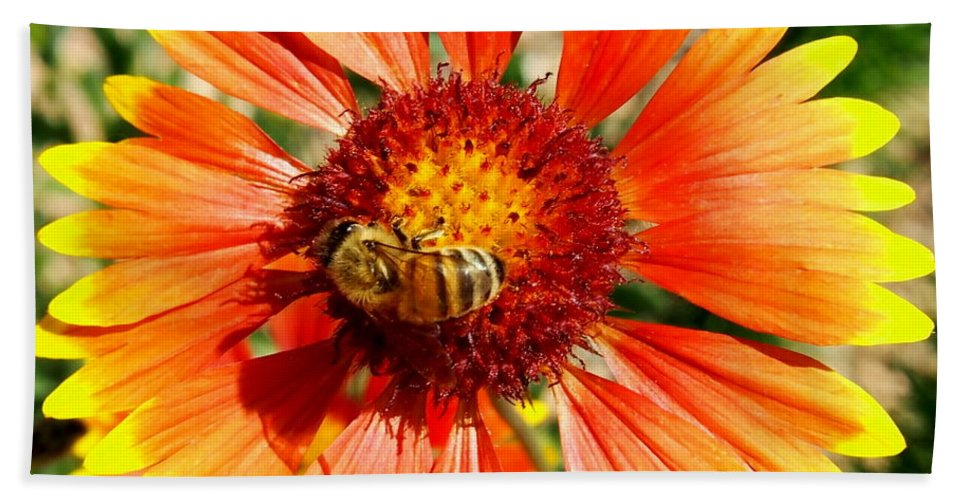 Nature Beach Towel featuring the photograph Orange Fiery Gaillardia Flower And Bee Macro by Amy McDaniel