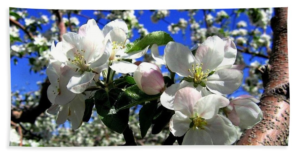 Apple Blossoms Beach Towel featuring the photograph Orchard Ovation by Will Borden