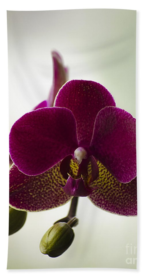 Beauty Beach Towel featuring the photograph Orchid by Linsey Williams