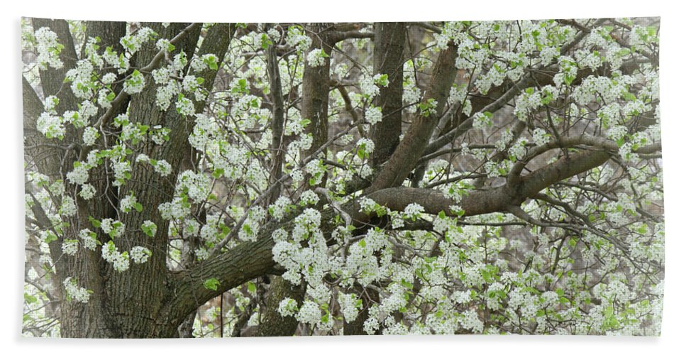Pear Tree Beach Towel featuring the photograph Oriental Pear Tree by Bonnie Willis