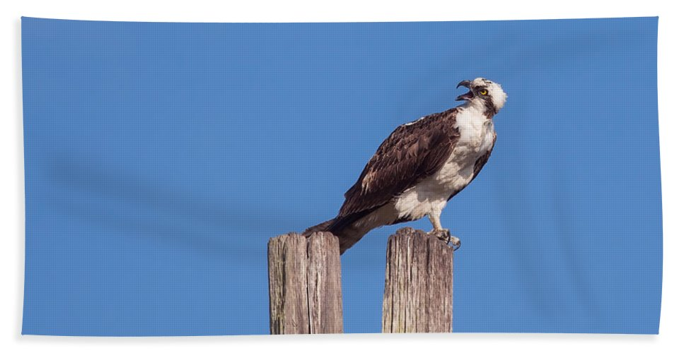 Nature Beach Towel featuring the photograph Osprey Giving Warning by John M Bailey