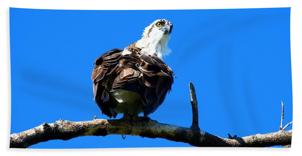 Osprey Beach Towel featuring the photograph Osprey On A Branch by Christiane Schulze Art And Photography