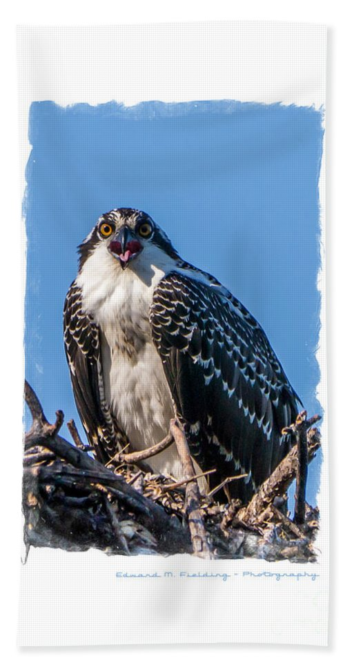 Funny Beach Towel featuring the photograph Osprey Surprise Party Card by Edward Fielding