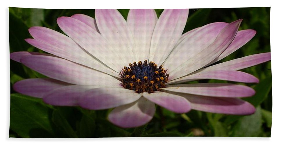 Birthday Beach Towel featuring the photograph Osteospermum Whiter Shade Of Pale by Taiche Acrylic Art
