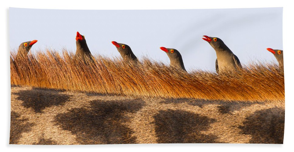 Red-billed Oxpecker Beach Towel featuring the photograph Oxpeckers by Max Waugh
