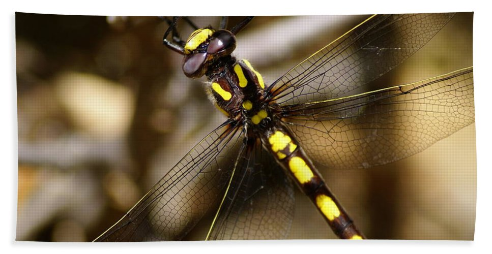 Dragonflies Beach Towel featuring the photograph Pacific Spiketail Dragonfly On Mt Tamalpais 2 by Ben Upham III